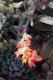 Echeveria 'Doris Taylor' - Foto: M. Hrdinová