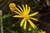 Euryops chrysanthemoides - Foto: M. Hrdinová
