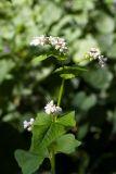 Fagopyrum esculentum (pohanka obecná) - Foto: M. Hrdinová