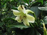 Fagraea ceilanica - Foto: T. Procházka