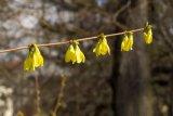 Forsythia x intermedia (zlatice prostřední) - Foto: M. Hrdinová