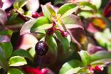 Fuchsia parviflora (fuchsie drobnokvětá) - Foto: M. Schafferová