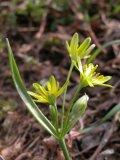 Gagea lutea (křivatec žlutý) - Foto: L. Hrouda