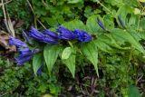 Gentiana asclepiadea (hořec tolitovitý) - Foto: M. Schafferová
