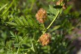 Glycyrrhiza echinata (lékořice ostnitá) - Foto: M. Schafferová