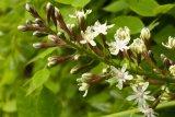 Gymnocladus dioica (nahovětvec dvoudomý) Foto: M. Hrdinová