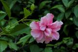 Hibiscus rosa-sinensis (ibišek čínská růže) - Foto: M. Schafferová
