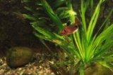 Hyphessobrycon callistus (tetra krvavá) - Foto: M. Hrdinová