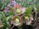 Helleborus purpurascens – Foto: L. Hrouda