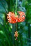 Hibiscus schizopetalus (ibišek dřípatokvětý) - Foto: T. Vencálek
