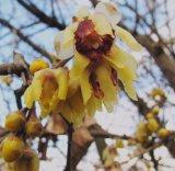 Chimonanthus praecox (zimnokvět časný) - Foto: T. Procházka