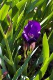 Iris marsica (kosatec) - Foto: M. Hrdinová