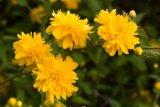 Kerria japonica (zákula japonská) - Foto: M. Hrdinová