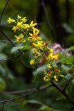 Koelreuteria paniculata (svitel latnatý) - Foto: M. Schafferová