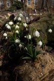 Leucojum vernum - Foto: M. Hrdinová