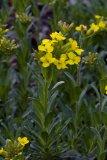Linum campanulatum (len zvonkovitý) - Foto: M. Hrdinová