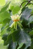 Liriodendron tulipifera (liliovník tulipánokvětý) Foto: L. Pavlata