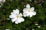 Magnolia kobus (šácholan japonský) - Foto: M. Hrdinová