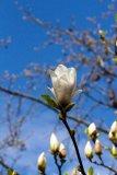 Magnolia x soulangeana (šácholan Soulangeův) - Foto: M. Hrdinová