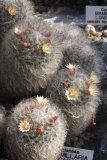 Mammillaria bocasana - Foto: M. Hrdinová