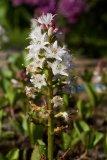 Menyanthes trifoliata (vachta trojlistá) - Foto: M. Hrdinová