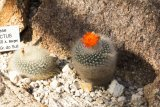 Notocactus haselbergii - Foto: M. Hrdinová