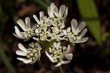Orlaya grandiflora (paprska velkokvětá) - Foto: M. Hrdinová