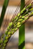 Oryza sativa (rýže setá) - Foto: M. Schafferová