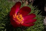 Paeonia tenuifolia (pivoňka úzkolistá) - Foto: M. Hrdinová