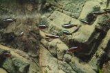 Paracheirodon_cardinalis (neonka červená) - Foto: M. Hrdinová