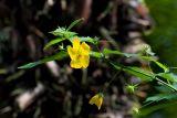 Pavonia sepium - Foto: M. Hrdinová