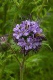 Phacelia tanacetifolia (svazenka vratičolistá) - Foto: M. Hrdinová
