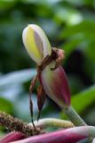 Philodendron squamiferum - Foto: M. Schafferová