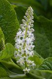 Phytolacca acinosa (líčidlo) - Foto: M. Hrdinová