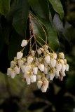 Pieris japonica (pieris japonská) - Foto: M. Hrdinová