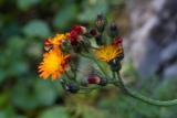 Pilosella aurantiaca (chlupáček oranžový) - Foto: M. Schafferová