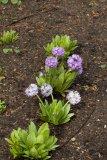Primula denticulata (prvosenka zoubkatá) - Foto: M. Hrdinová