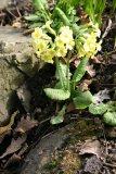 Primula elatior (prvosenka vyšší) - Foto: L. Hrouda