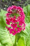 Primula japonica ´Millers crimson´ (prvosenka japonská) Foto: M. Hrdinová
