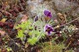 Pulsatilla patensis subsp. bohemica (koniklec luční český) - Foto: M. Hrdinová