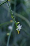 Rhipsalis teres - Foto: M. Schafferová