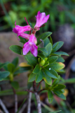 Rhododendron hirsutum (pěnišník chlupatý) - Foto: M. Schafferová