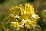 Rhododendron luteum (pěnišník žlutý) - Foto: M. Hrdinová