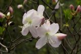 Rhododendron schlippenbachii - Foto: M. Hrdinová