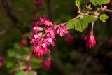 Ribes sanguineum (meruzalka krvavá) - Foto: M. Hrdinová