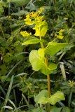 Smyrnium perfoliatum (tromín prorostlý) - Foto: M. Hrdinová