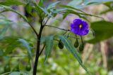Solanum laciniatum (lilek dřípený) - Foto: M. Hrdinová