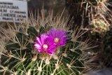 Stenocactus crispatus - Foto: M. Hrdinová