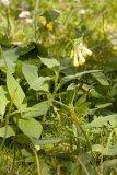 Symphytum tuberosum (plicník hlíznatý) - Foto: M. Hrdinová