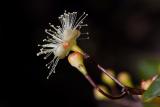 Syzygium paniculatum (hřebíčkovec myrtolistý) - Foto: M. Schafferová